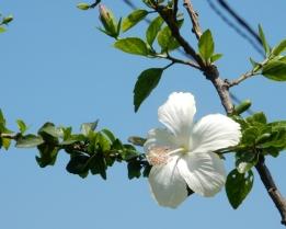Flamboyant blanc