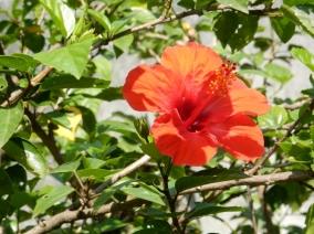 Flamboyant rouge